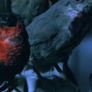 Chris Bierl – Die Versammlung der Vögel -Videostill01_ 2019-02-12 um 19.49.45